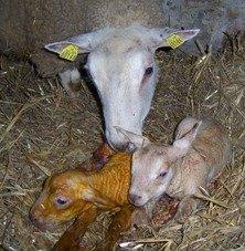 New born lambs and Mum.
