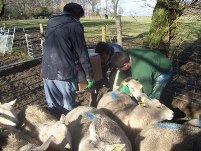 Ultrasound scanning the sheep